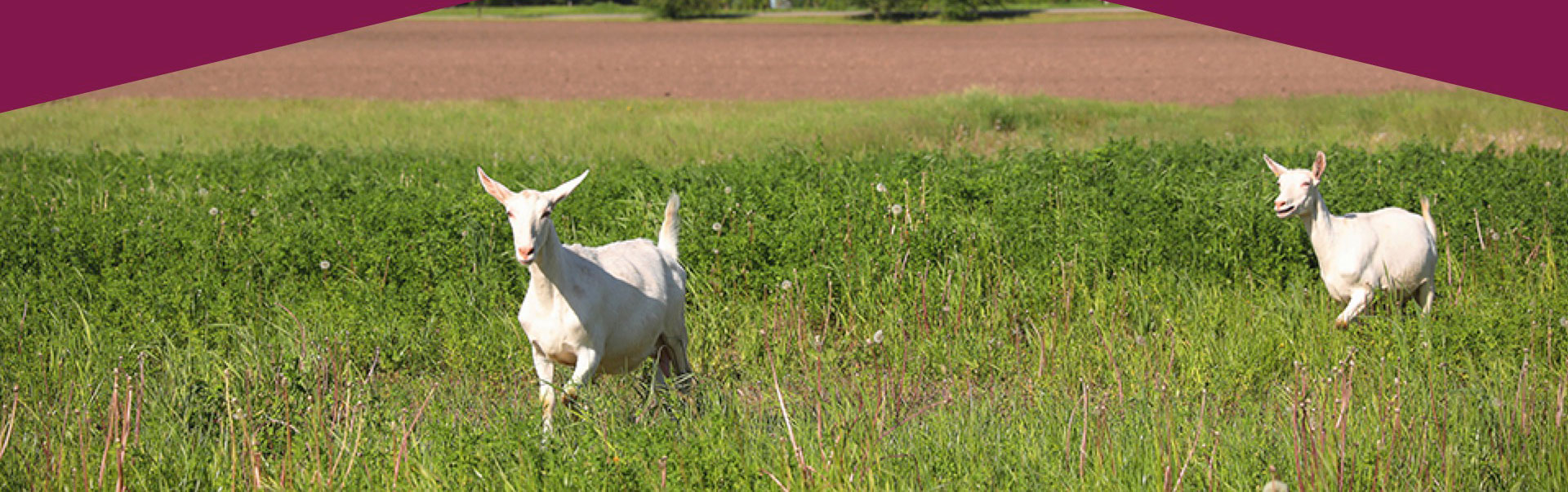 Award-winning goat and sheep milk cheeses